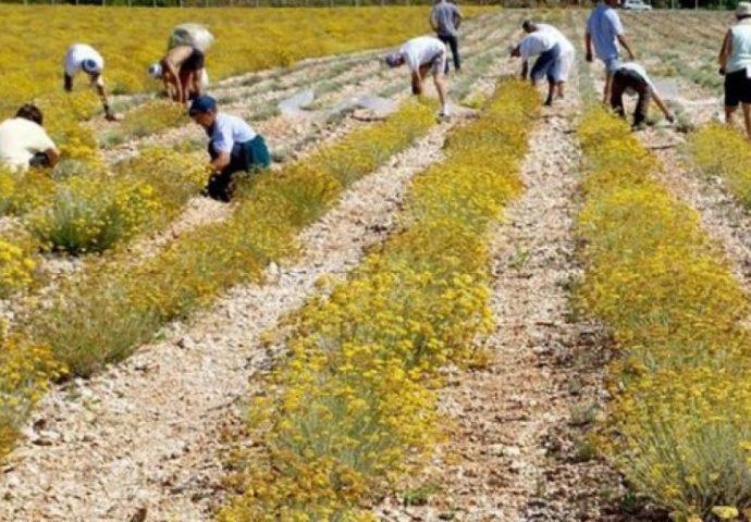 Hercegovačko ulje od smilja uskoro dobija sertifikat