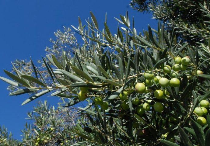 Krš, sunce i vjetrovi daju masline visokog kvaliteta – Hercegovina bi uskoro mogla primijeniti iskustva Španije u maslinarstvu