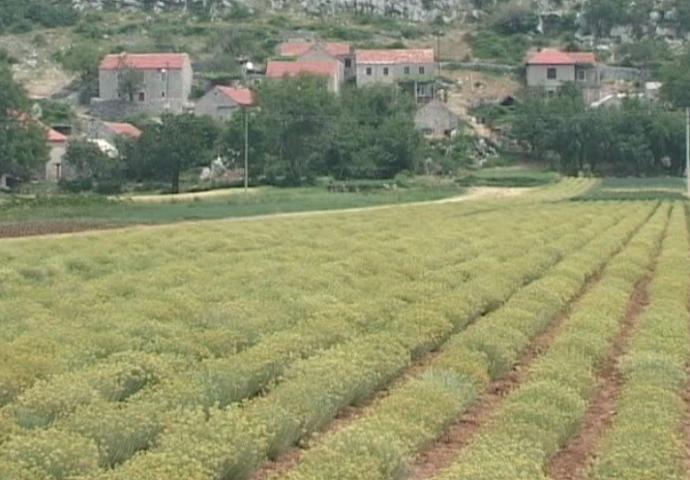 VIDEO: Trebinjski smiljari u problemu- nema kupca za milion sadnica