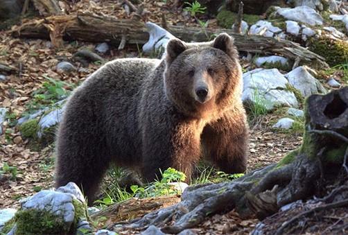 Hercegovka oči u oči s medvjedom