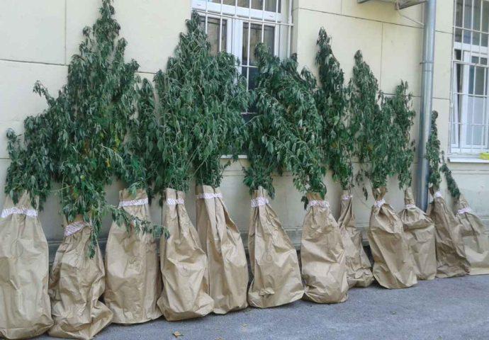 Dva Trebinjca uzgajala marihuanu u Popovom polju