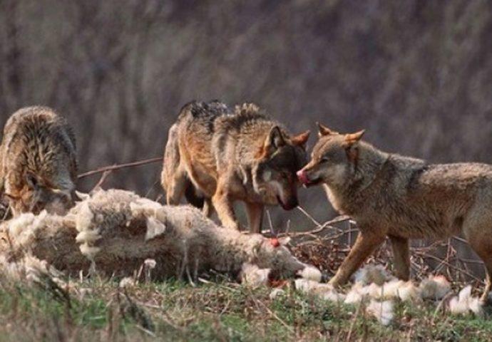 Vukovi kolju ovce po gatačkim selima