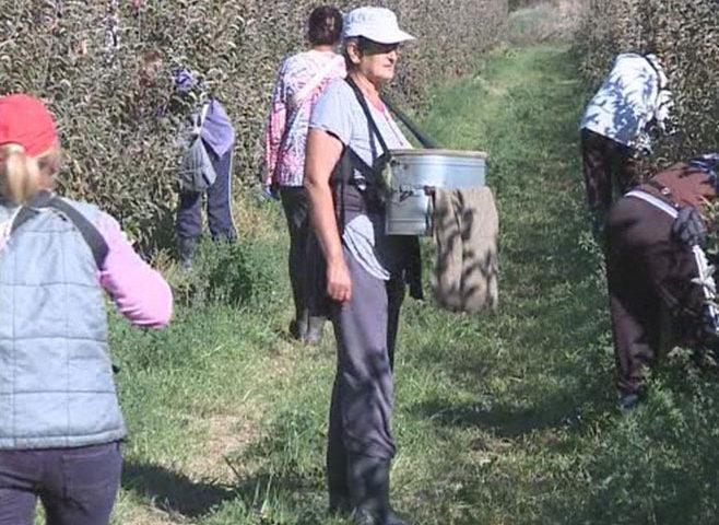U Popovom polju u toku berba jabuka