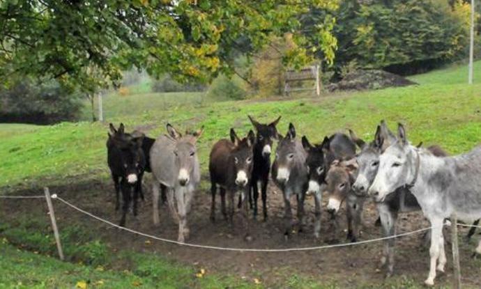 Perspektiva u uzgoju magaraca- kilogram sira i po 1.000 evra