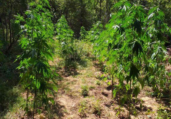 Uhapšena dva Trebinjca- posadili plantažu marihuane i posjedovali arsenal oružja