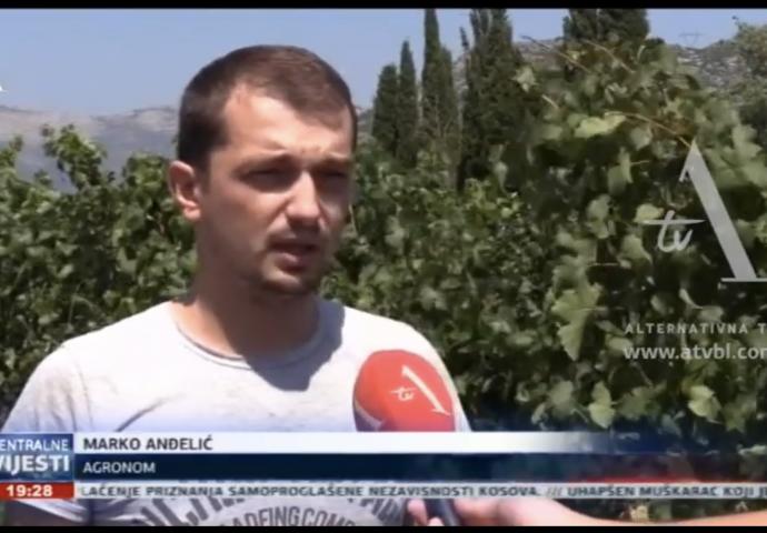 VIDEO: Groždje u Hercegovini i ove godine odličnog kvaliteta