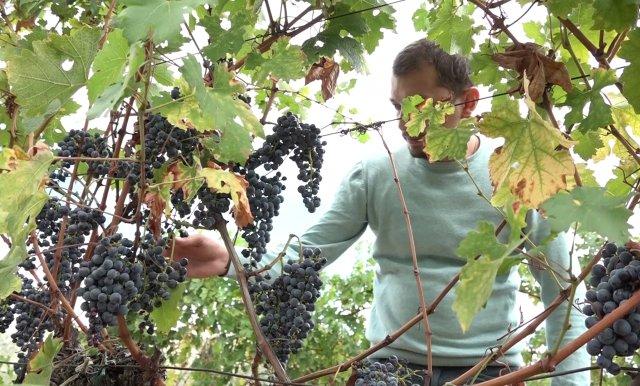 Hercegovački vinogradari zadovoljni kvalitetom i prinosom