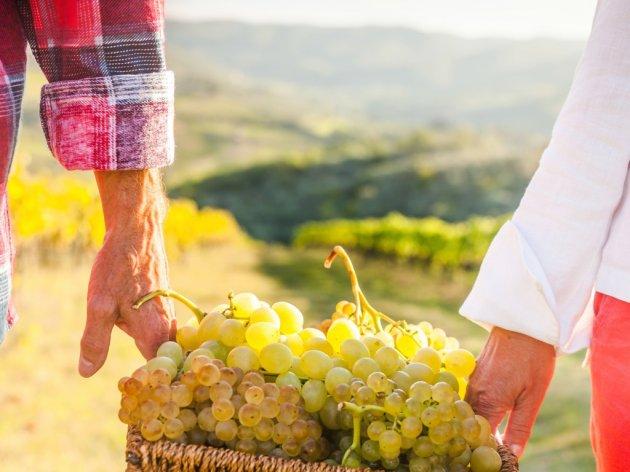Trebinjski vinogradari očekuju dobar rod – Dug i sušan period pogodovao dobrom kvalitetu grožđa