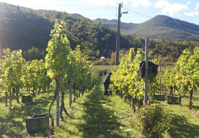 U Carskim vinogradim počela berba žilavke