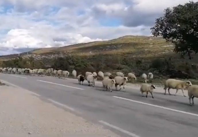VIDEO: Hiljade ovaca i koza na magistrali Bileća – Gacko